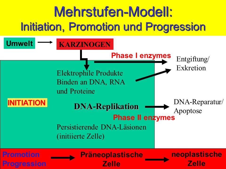 Elektrophile Produkte Binden an DNA, RNA und Proteine Persistierende DNA-Läsionen (initiierte Zelle) Mehrstufen-Modell: Initiation, Promotion und Prog