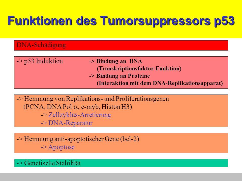 Funktionen des Tumorsuppressors p53 DNA-Schädigung -> p53 Induktion -> Bindung an DNA (Transkriptionsfaktor-Funktion) -> Bindung an Proteine (Interakt