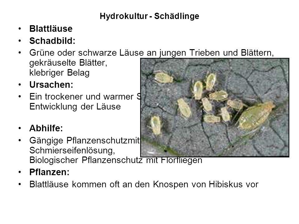 Hydrokultur - Schädlinge Blattläuse Schadbild: Grüne oder schwarze Läuse an jungen Trieben und Blättern, gekräuselte Blätter, klebriger Belag Ursachen