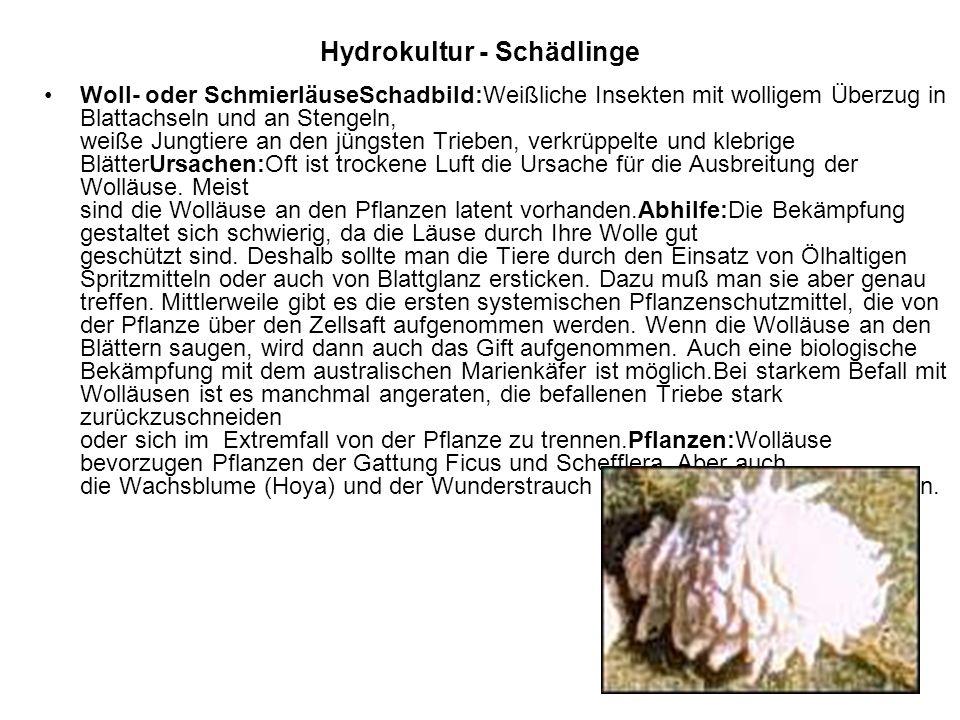 Hydrokultur - Schädlinge Woll- oder SchmierläuseSchadbild:Weißliche Insekten mit wolligem Überzug in Blattachseln und an Stengeln, weiße Jungtiere an