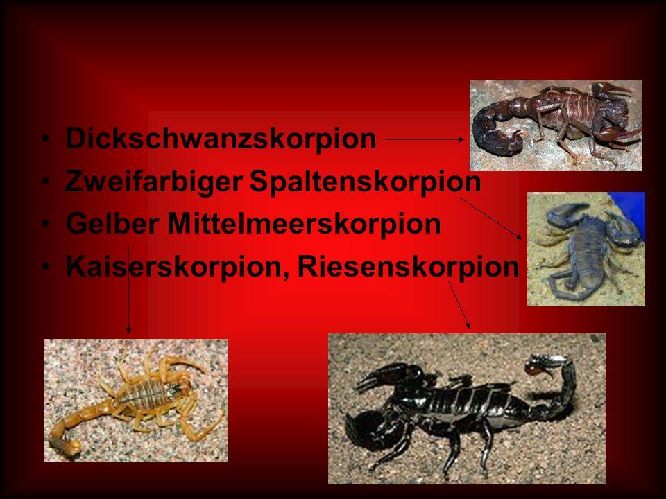 Dickschwanzskorpion Zweifarbiger Spaltenskorpion Gelber Mittelmeerskorpion Kaiserskorpion, Riesenskorpion