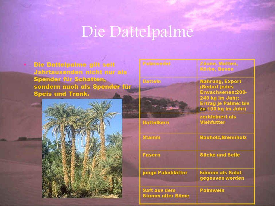Die Dattelpalme Die Dattelpalme gilt seit Jahrtausenden nicht nur als Spender für Schatten, sondern auch als Spender für Speis und Trank. PalmwedelZäu