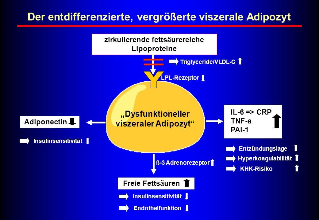 Der entdifferenzierte, vergrößerte viszerale Adipozyt zirkulierende fettsäurereiche Lipoproteine Freie Fettsäuren ß-3 Adrenorezeptor Adiponectin Insul