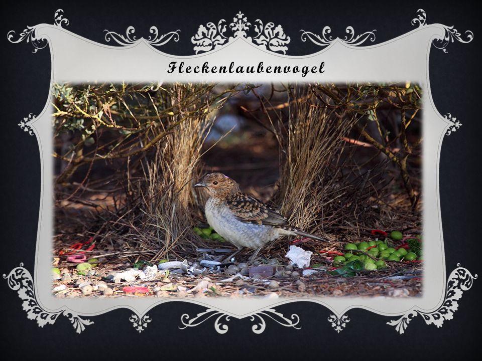 Graulaubenvogel