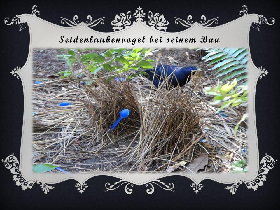 Fleckenlaubenvogel