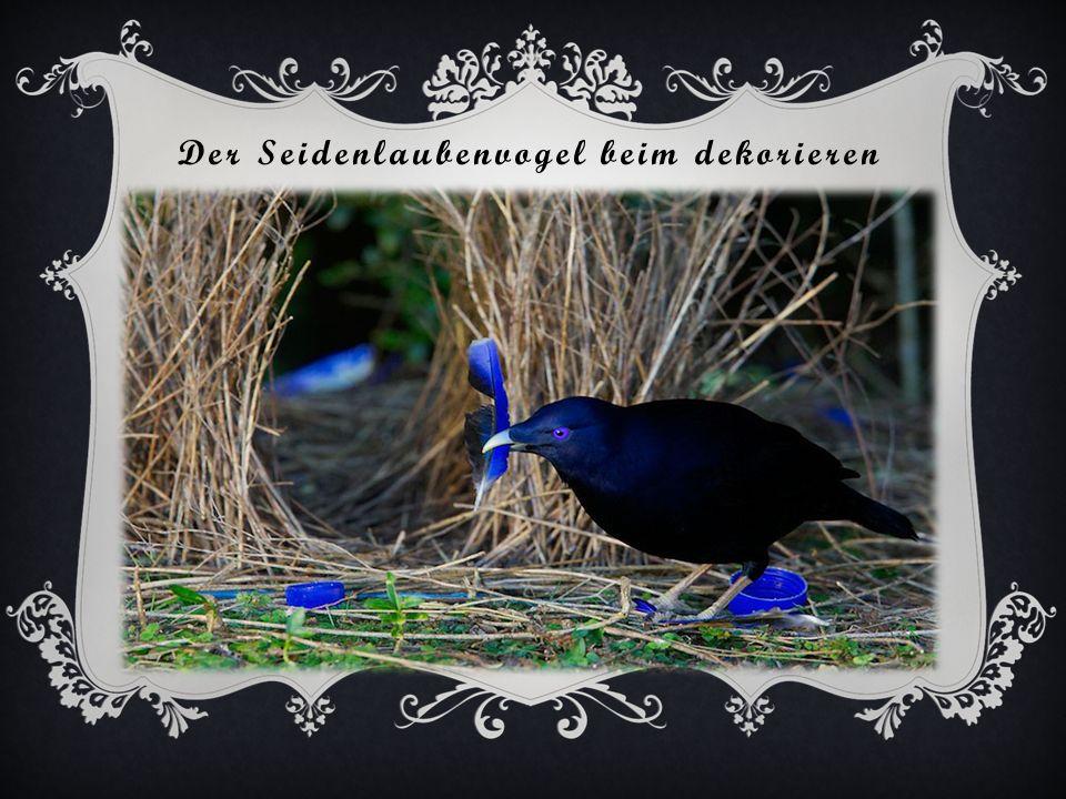 Seidenlaubenvogel bei seinem Bau