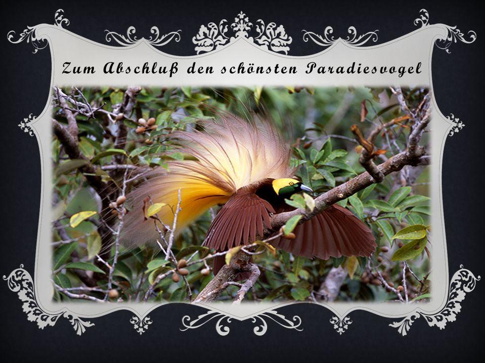 Braunbauchlaubenvogel vor seinem Kunstwerk