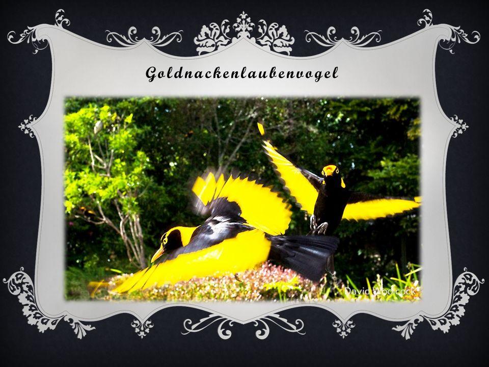 Der Seidenlaubenvogel beim dekorieren