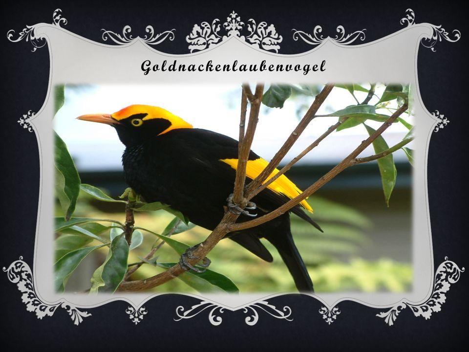 Goldnackenlaubenvogel