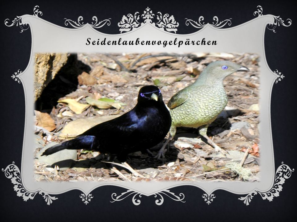 Seidenlaubenvogelpärchen
