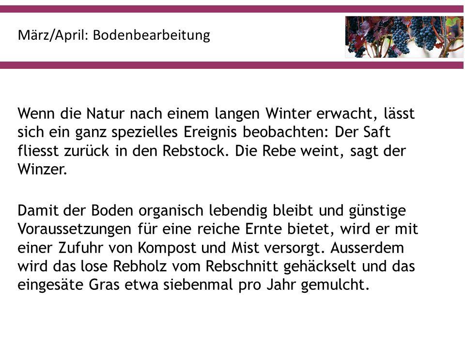 März/April: Bodenbearbeitung Wenn die Natur nach einem langen Winter erwacht, lässt sich ein ganz spezielles Ereignis beobachten: Der Saft fliesst zurück in den Rebstock.