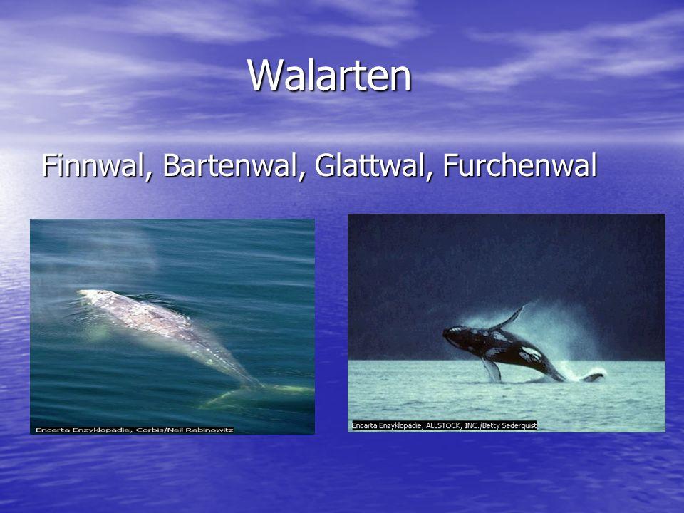 Walarten Finnwal, Bartenwal, Glattwal, Furchenwal