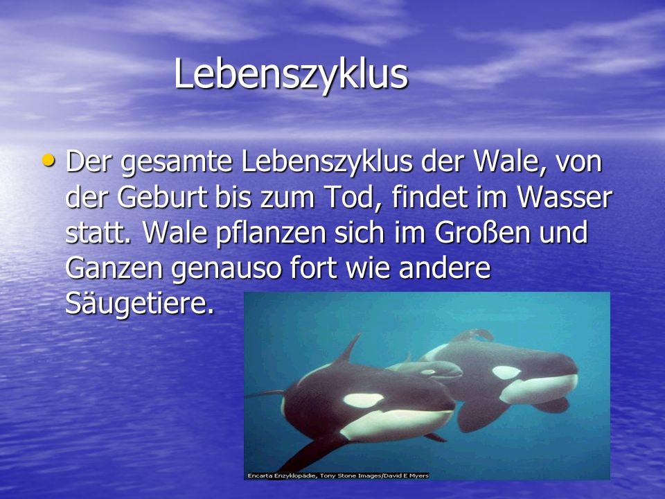 Lebenszyklus Der gesamte Lebenszyklus der Wale, von der Geburt bis zum Tod, findet im Wasser statt. Wale pflanzen sich im Großen und Ganzen genauso fo