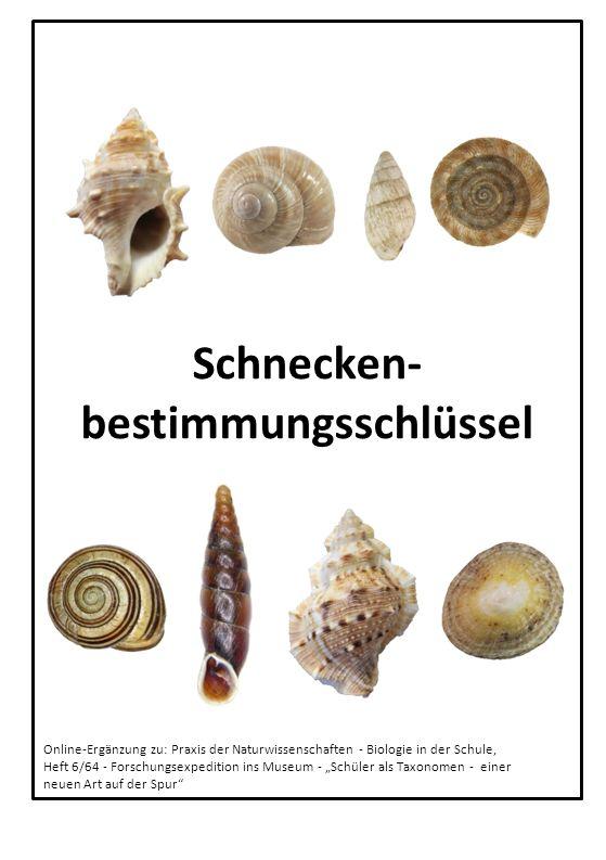 11 Glatte Schließmundschnecke Cochlodina laminata