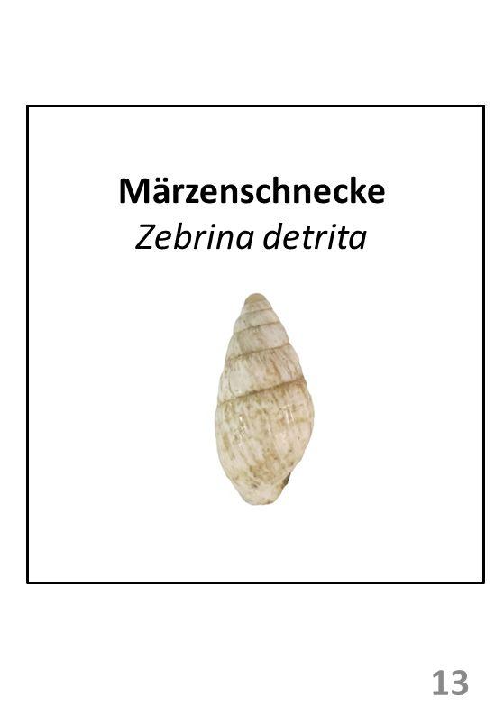 Märzenschnecke Zebrina detrita 13