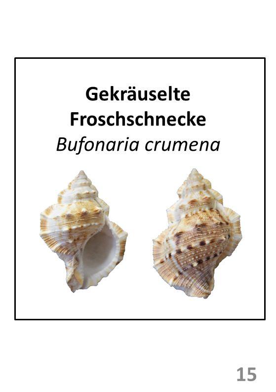Gekräuselte Froschschnecke Bufonaria crumena 15