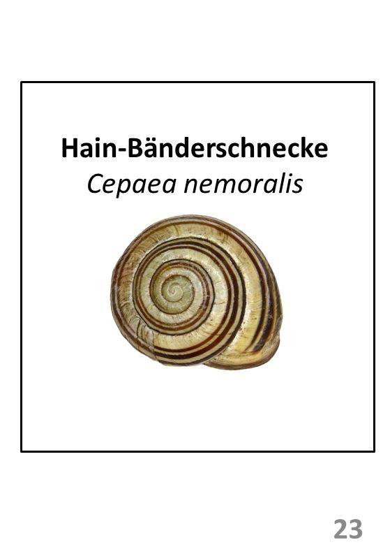 Hain-Bänderschnecke Cepaea nemoralis 23
