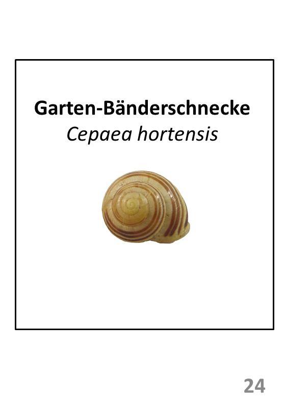 Garten-Bänderschnecke Cepaea hortensis 24