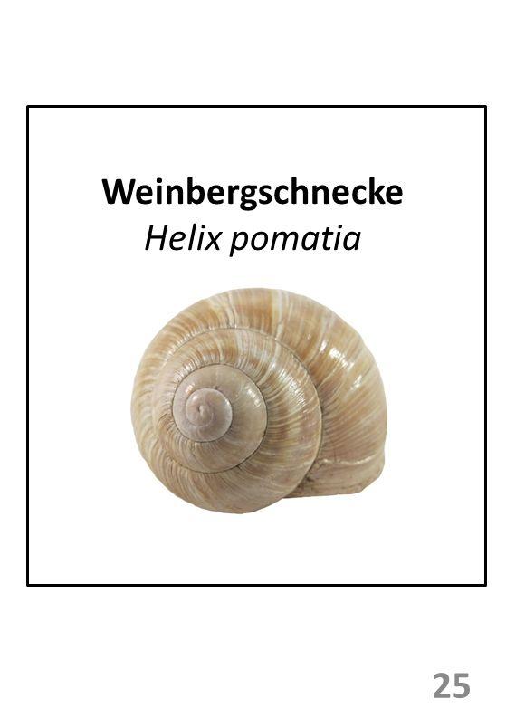 Weinbergschnecke Helix pomatia 25