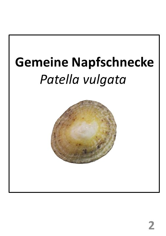 Gemeine Napfschnecke Patella vulgata 2