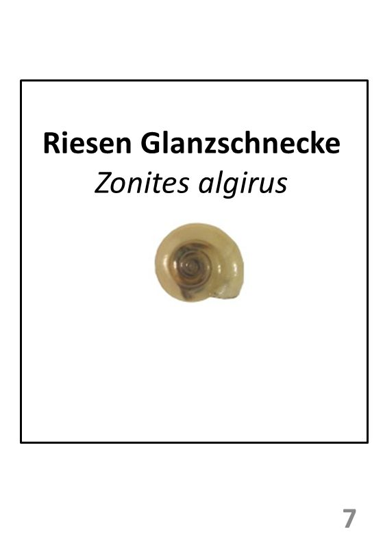 Riesen Glanzschnecke Zonites algirus 7