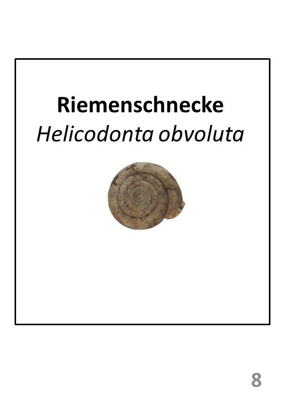 Riemenschnecke Helicodonta obvoluta 8