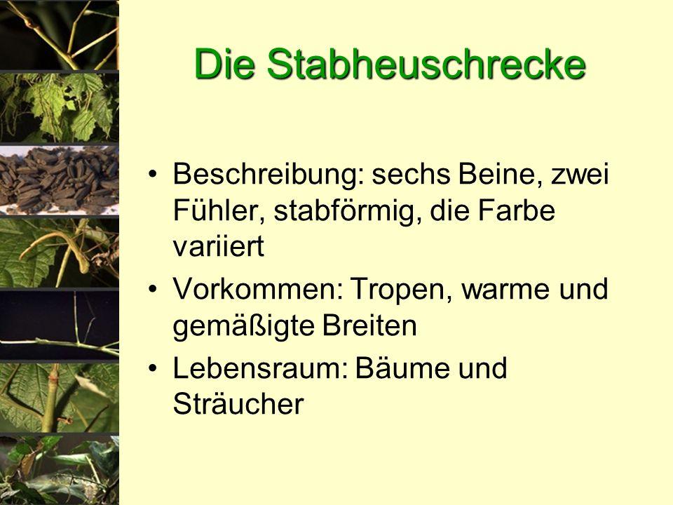 Die Stabheuschrecke Beschreibung: sechs Beine, zwei Fühler, stabförmig, die Farbe variiert Vorkommen: Tropen, warme und gemäßigte Breiten Lebensraum: Bäume und Sträucher