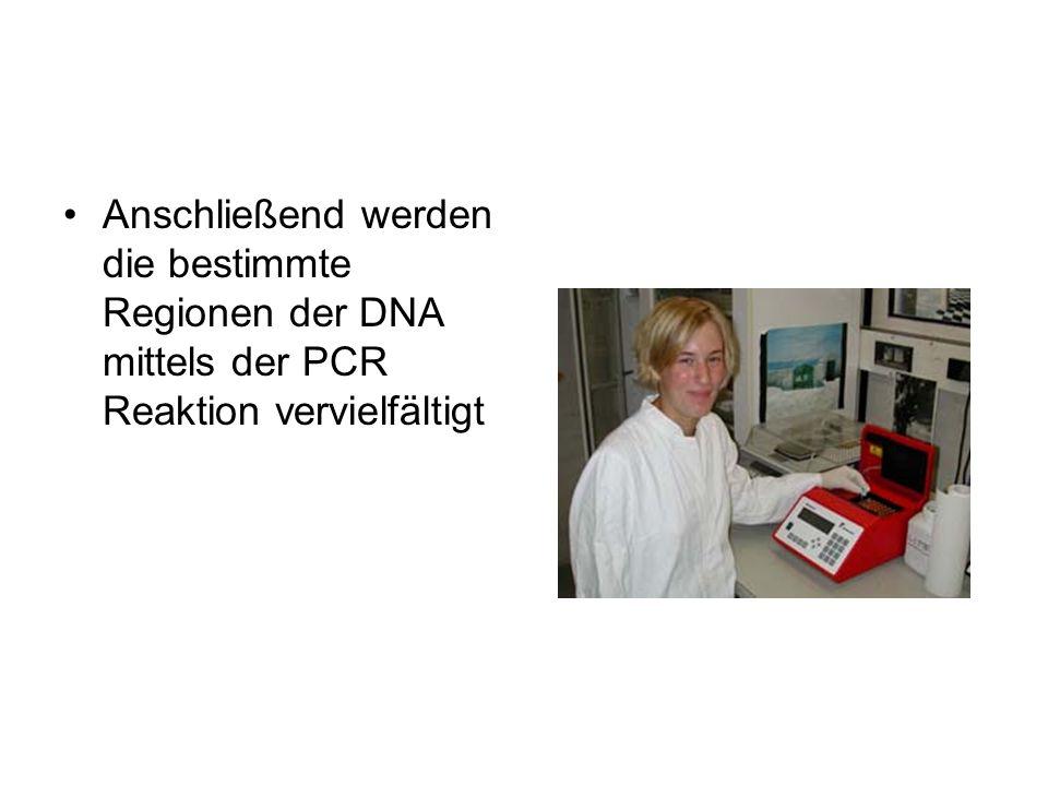 Anschließend werden die bestimmte Regionen der DNA mittels der PCR Reaktion vervielfältigt