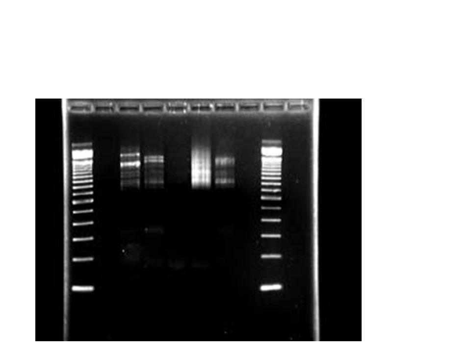 Genetischer Fingerabdruck, Forschungsanwendungen Wesentlich komplizierter gestaltet sich die Weiterverarbeitung der vervielfältigten DNA für andere Anwendungen.