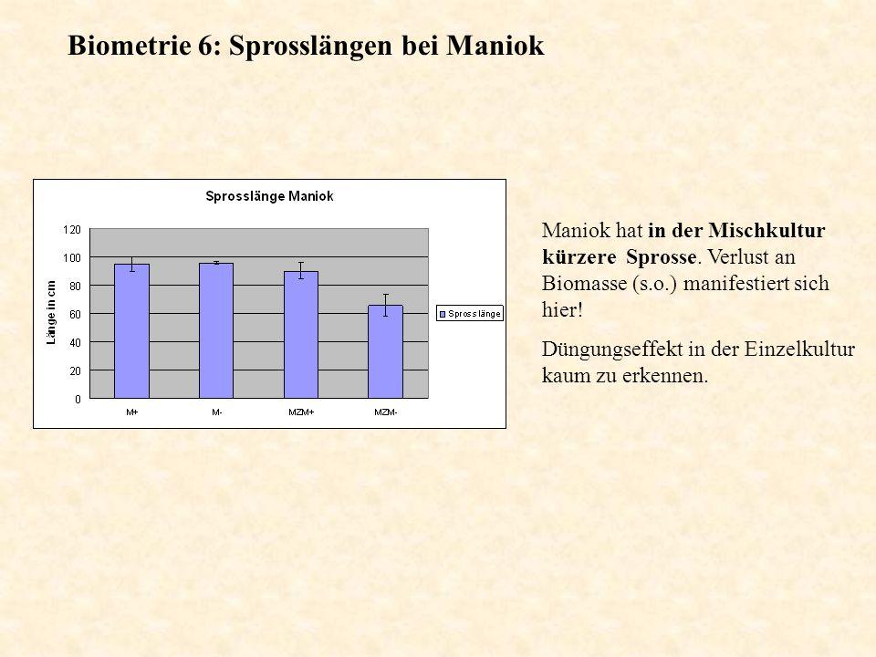 Biometrie 6: Sprosslängen bei Maniok Maniok hat in der Mischkultur kürzere Sprosse. Verlust an Biomasse (s.o.) manifestiert sich hier! Düngungseffekt