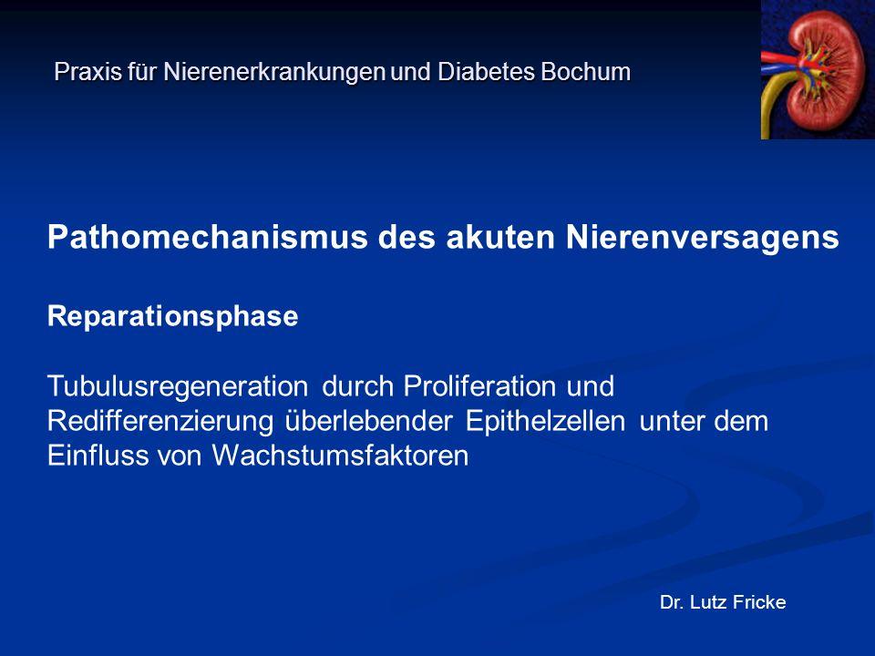 Praxis für Nierenerkrankungen und Diabetes Bochum Dr. Lutz Fricke Pathomechanismus des akuten Nierenversagens Reparationsphase Tubulusregeneration dur