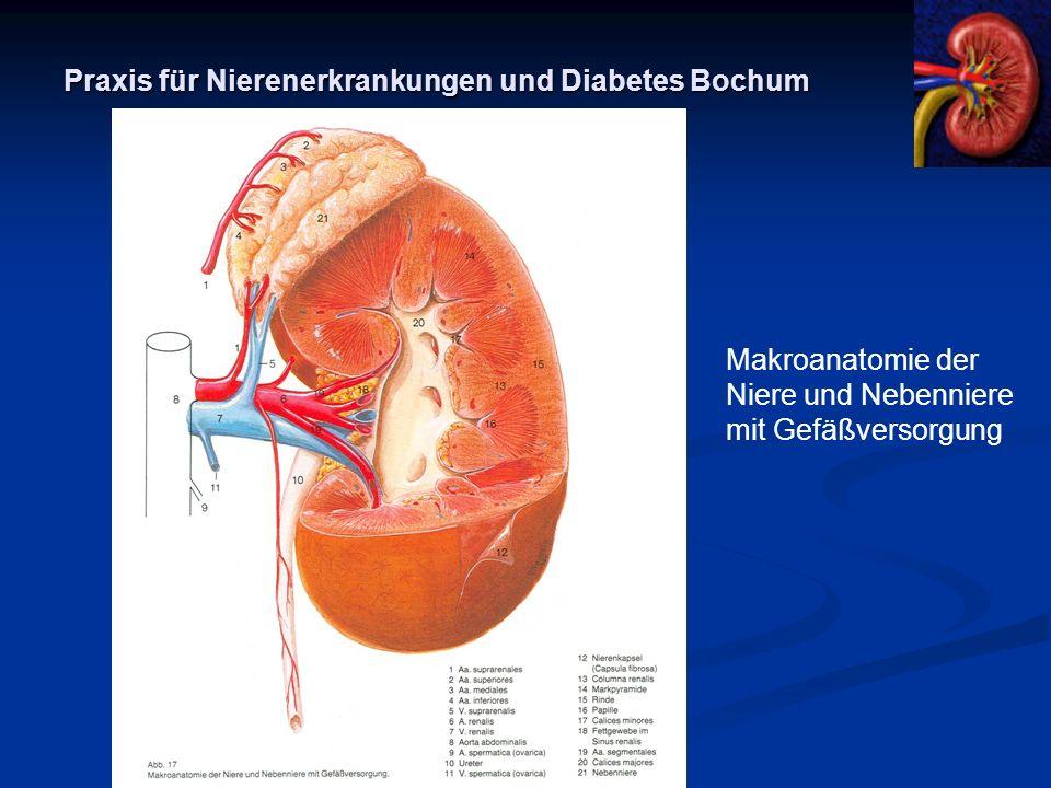 Praxis für Nierenerkrankungen und Diabetes Bochum Makroanatomie der Niere und Nebenniere mit Gefäßversorgung