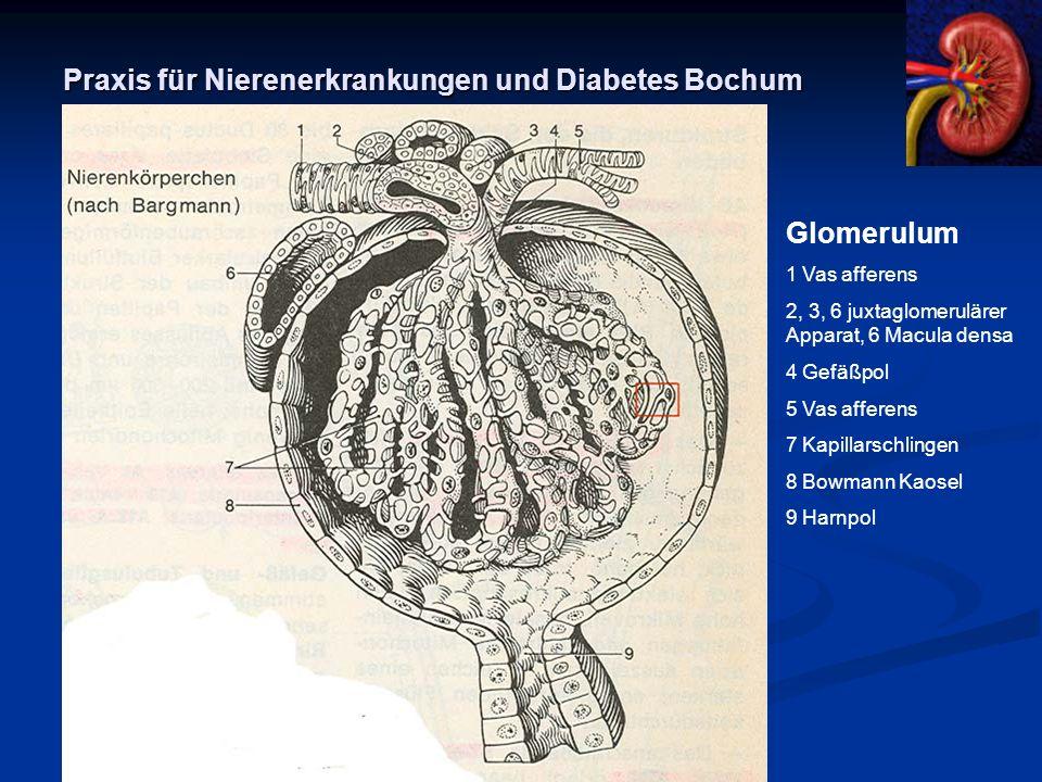 Praxis für Nierenerkrankungen und Diabetes Bochum Glomerulum 1 Vas afferens 2, 3, 6 juxtaglomerulärer Apparat, 6 Macula densa 4 Gefäßpol 5 Vas afferen