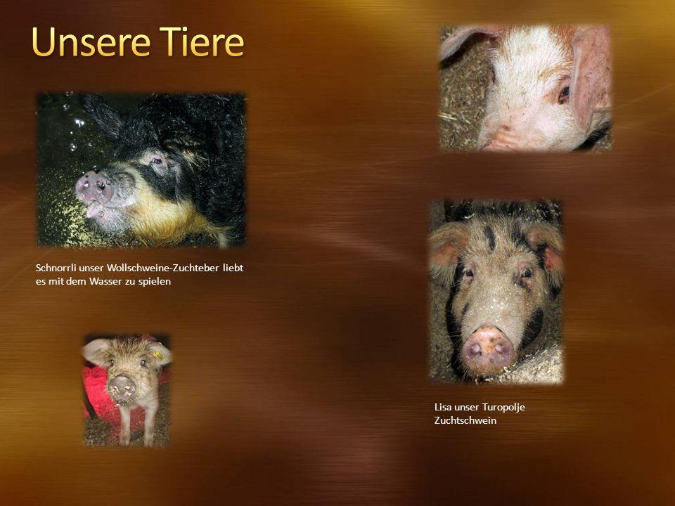 Schnorrli unser Wollschweine-Zuchteber liebt es mit dem Wasser zu spielen Lisa unser Turopolje Zuchtschwein