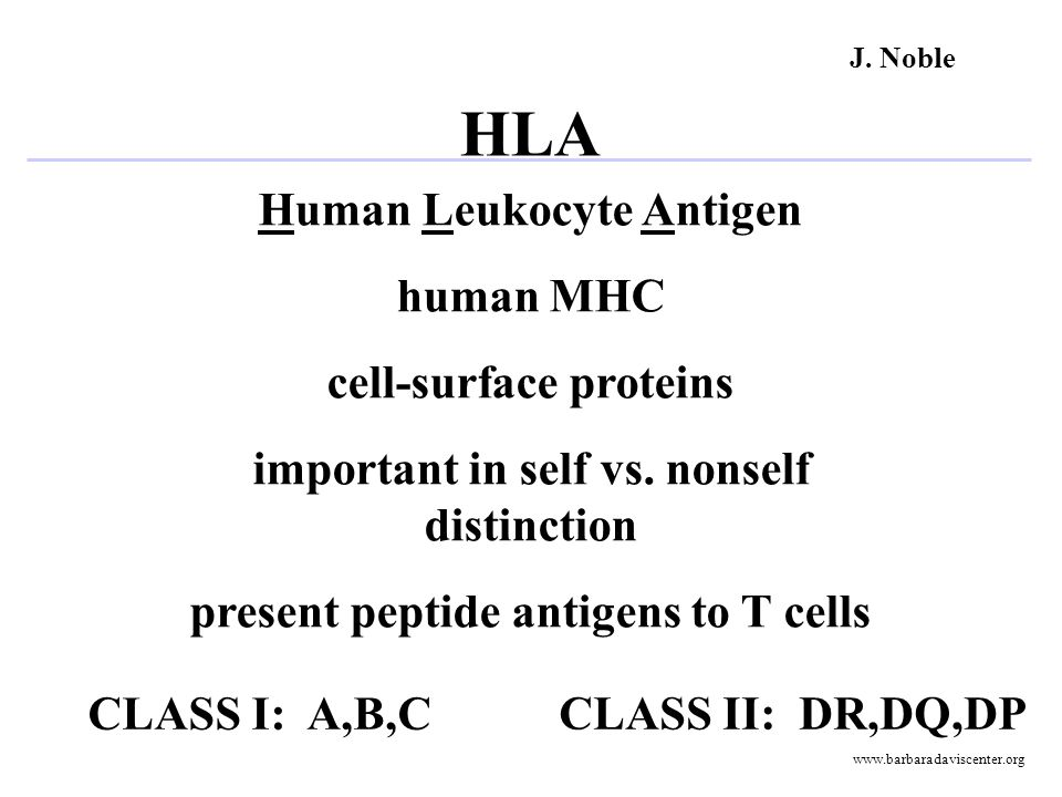 Human Leukocyte Antigen human MHC cell-surface proteins important in self vs. nonself distinction present peptide antigens to T cells CLASS I: A,B,C C