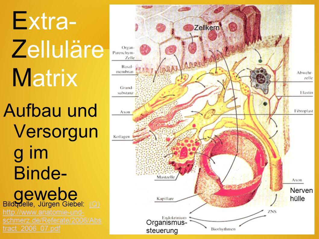 60 Arteriosklerose Arteriengefäßhaut-Vergleich (Schnitte) mit und ohne Arteriosklerose, bei der die innerste Gefäßschicht (Intima), bzw.
