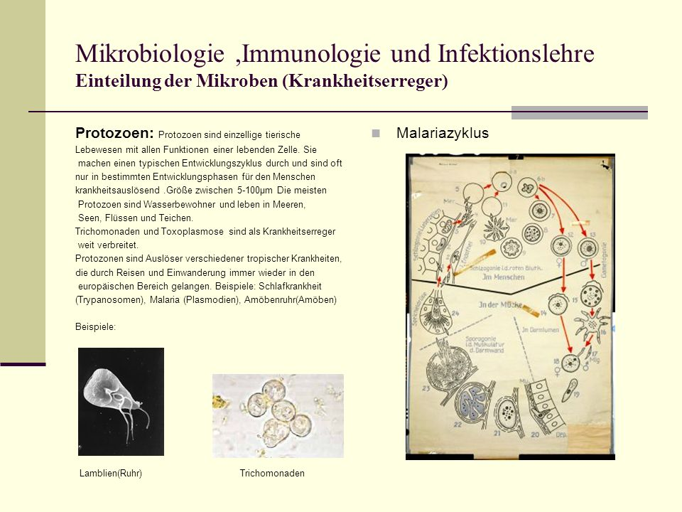 Mikrobiologie,Immunologie und Infektionslehre Einteilung der Mikroben (Krankheitserreger) Protozoen: Protozoen sind einzellige tierische Lebewesen mit allen Funktionen einer lebenden Zelle.
