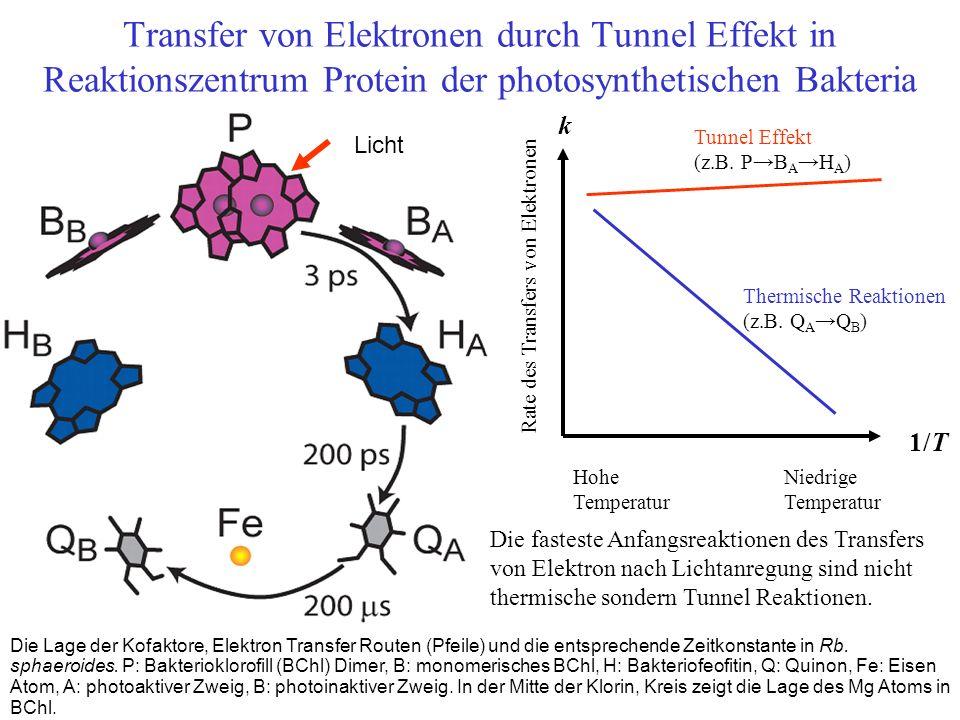 Die Lage der Kofaktore, Elektron Transfer Routen (Pfeile) und die entsprechende Zeitkonstante in Rb. sphaeroides. P: Bakterioklorofill (BChl) Dimer, B