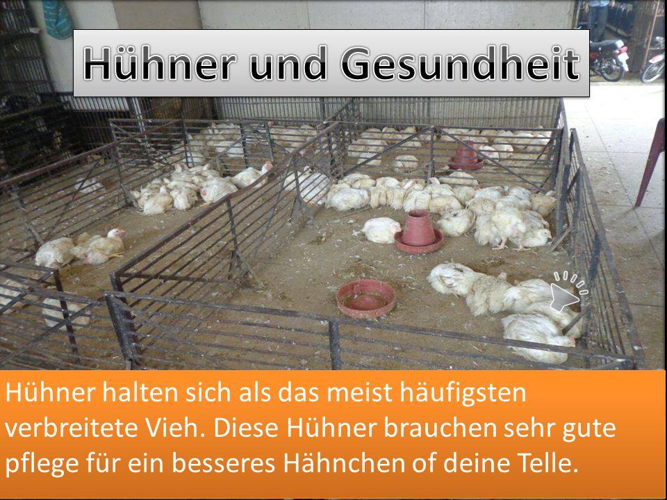 Hühner halten sich als das meist häufigsten verbreitete Vieh.