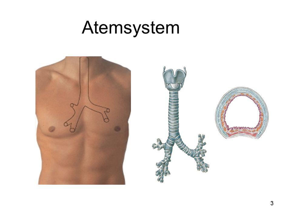 4 Lunge Verzweigung des Bronchialbaums über 25 Generationen bis zu den Alveolen Rechts 3 - links 2 Lungenlappen