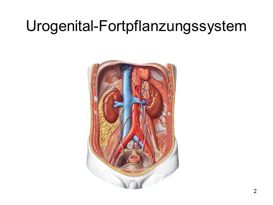 Urogenitalsystem-Harnwegssystem Unter dem Begriff Urogenitalsystem werden die Harnorgane und die Geschlechtsorgane zusammengefasst.