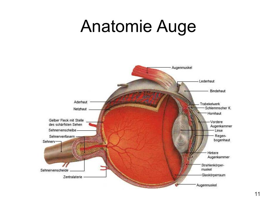 11 Anatomie Auge