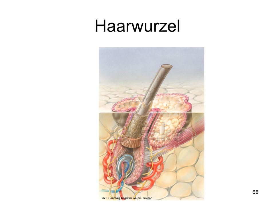 68 Vater-Pacini-KörperchenVater-Pacini-Körperchen Haarwurzelscheide Nervenfasern Haarwurzelscheide Nervenfasern Riechen Riechen Ohr Ohr Auge 2 Auge 2