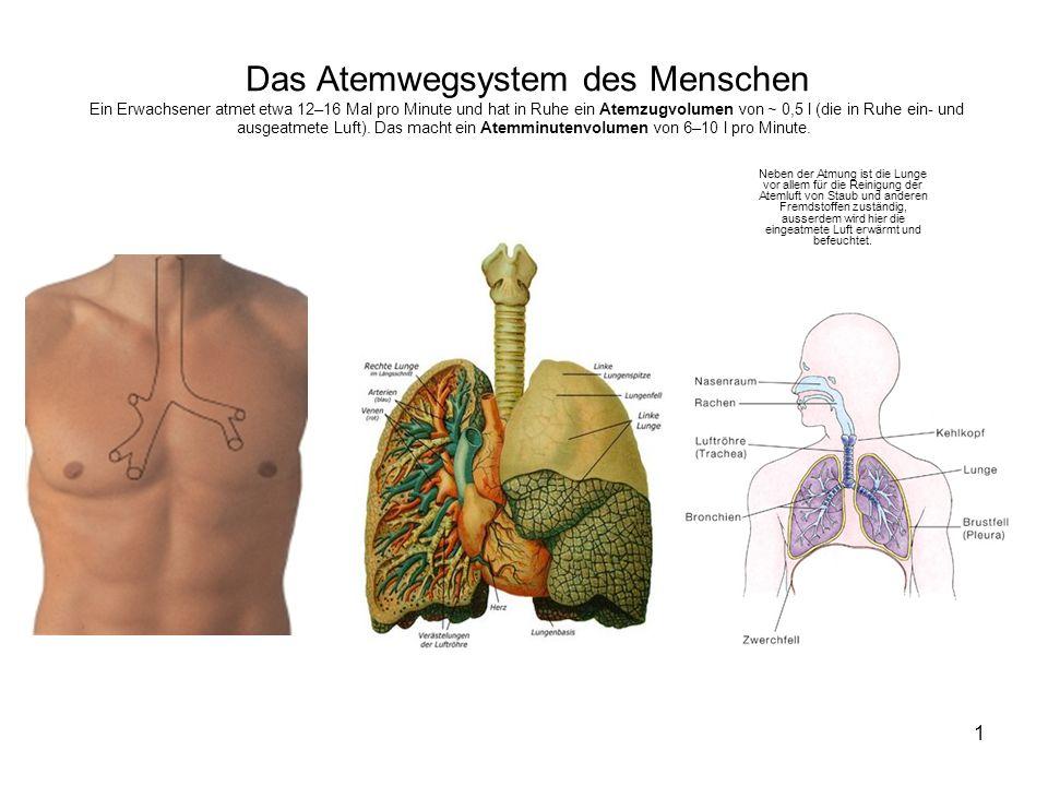 1 Das Atemwegsystem des Menschen Ein Erwachsener atmet etwa 12–16 Mal pro Minute und hat in Ruhe ein Atemzugvolumen von ~ 0,5 l (die in Ruhe ein- und ausgeatmete Luft).