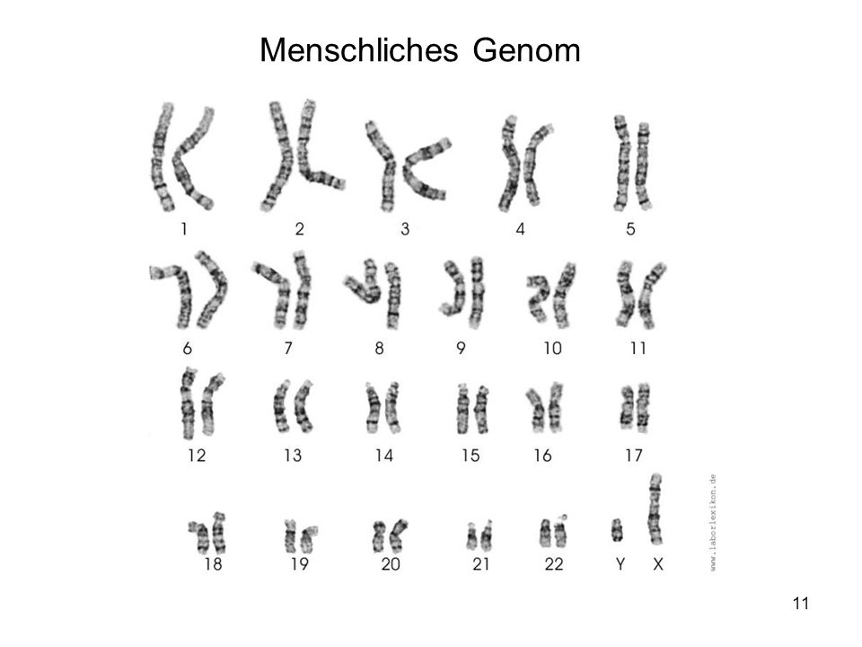 11 Menschliches Genom