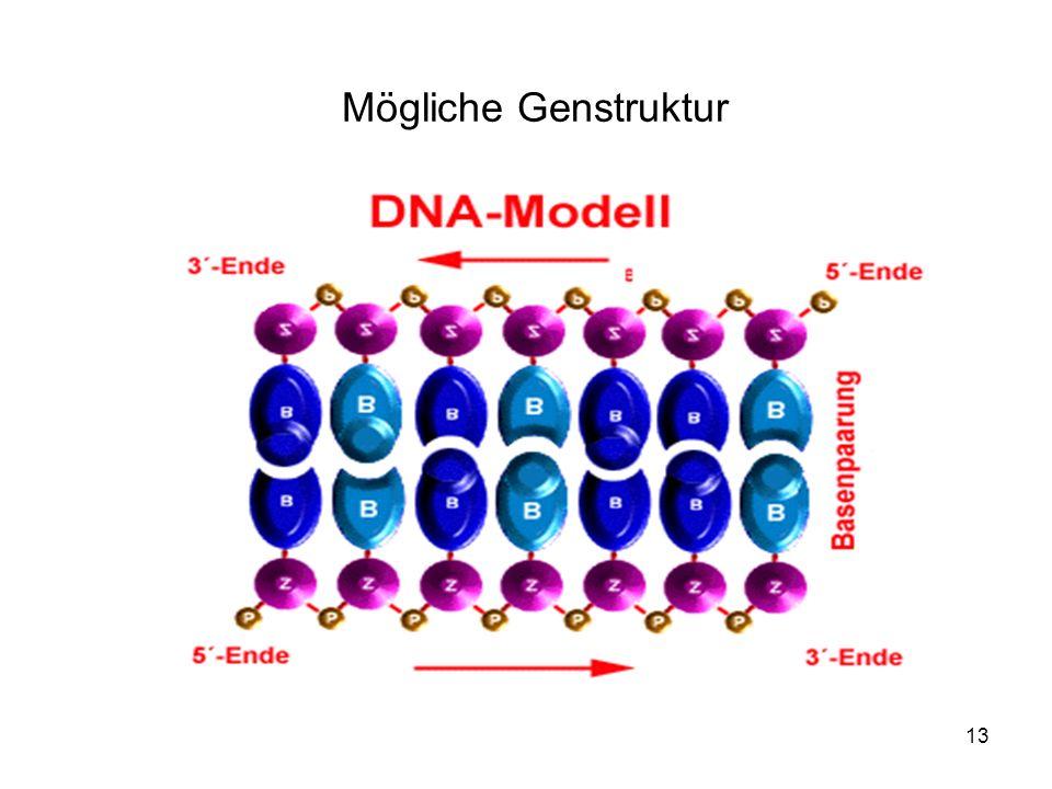 13 Mögliche Genstruktur