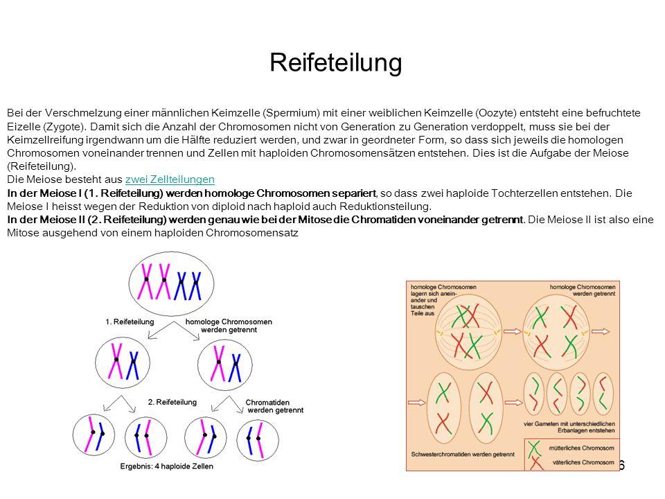 16 Reifeteilung Bei der Verschmelzung einer männlichen Keimzelle (Spermium) mit einer weiblichen Keimzelle (Oozyte) entsteht eine befruchtete Eizelle