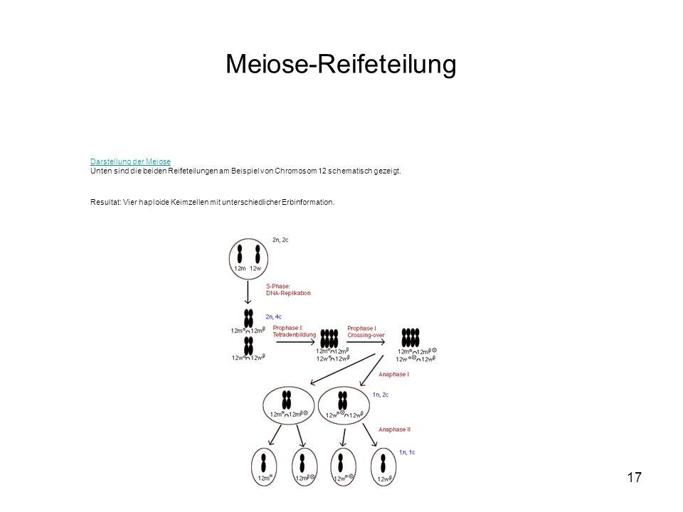 17 Darstellung der Meiose Unten sind die beiden Reifeteilungen am Beispiel von Chromosom 12 schematisch gezeigt. Resultat: Vier haploide Keimzellen mi