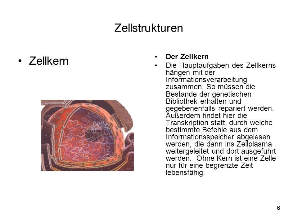 6 Zellstrukturen Zellkern Der Zellkern Die Hauptaufgaben des Zellkerns hängen mit der Informationsverarbeitung zusammen. So müssen die Bestände der ge