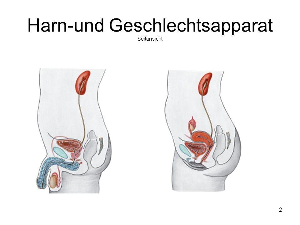 2 Harn-und Geschlechtsapparat Seitansicht